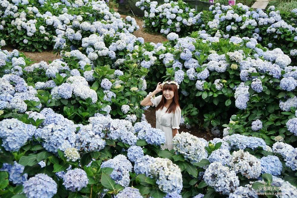 [陽明山竹子湖 午後陽光繡球花田] 與山嵐相伴的紫陽花海 蜿蜒花道巨大花牆 相約來當花仙子吧
