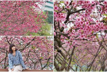 [台北賞櫻景點] 東湖 樂活公園  櫻花河岸步道 粉紅寒櫻 桃紅八重櫻大盛開 2021年花況
